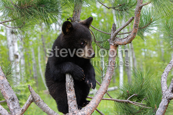 Young Black Bear 4 months climbing into a tree USA  (Black bear )