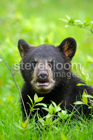 Young Black Bear 4 months in grass USA  (Black bear )