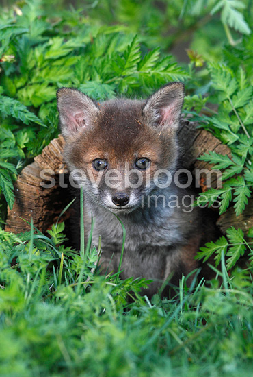 Young Red Fox coming out of a hole in a stump GB  (Red fox)