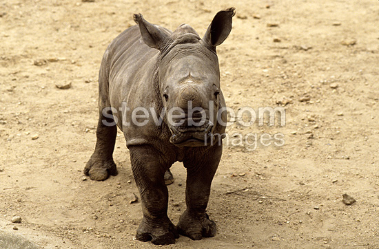White rhinoceros born in the zoo of Vincennes Paris (White rhinoceros)