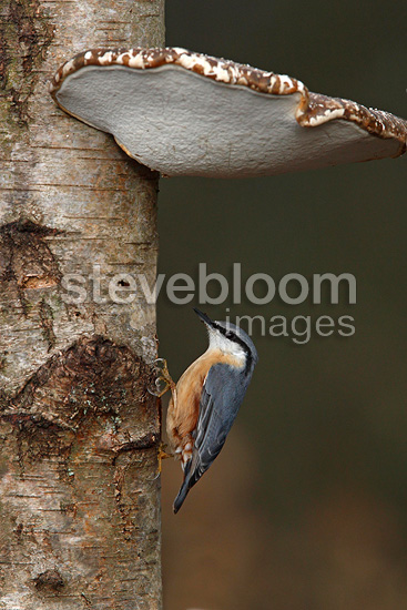 Nuthatch on a tree trunk covered with mushrooms GB (Nuthatch)