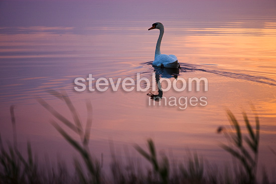 Mute Swan swimming in lagoon at sunset Camargue France (Mute Swan)