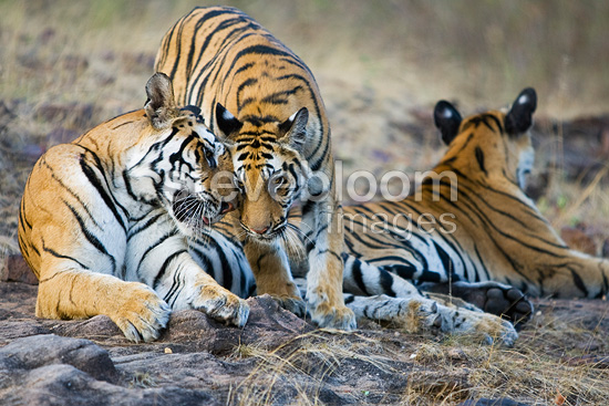 11 months old Bengal tiger cub rubbing face with mother, Bandhavgarh National Park, India