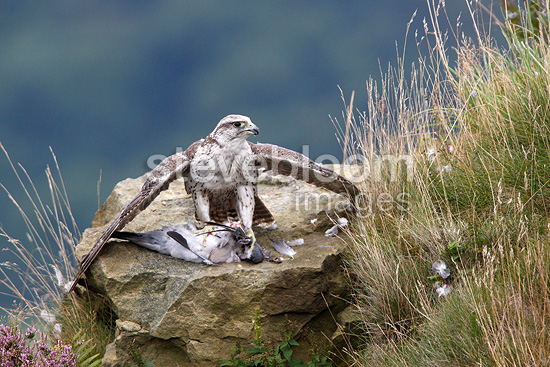 Gyr falcon with prey on cliffs (Gyr Falcon)