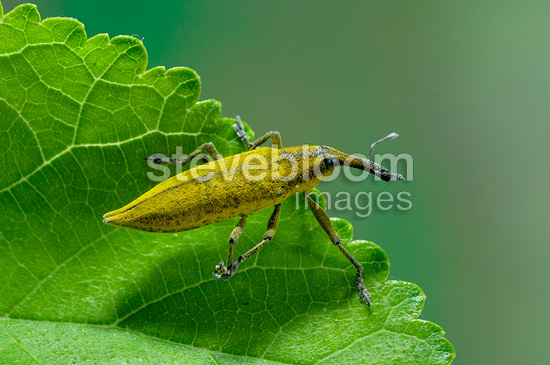 Elongated been Weevil on a leaf Provence France (weevil)