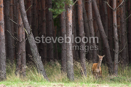 Doe red deer out of a wood Pins France (Red deer)