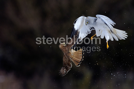 Northern Harrier male and Common Kestrel fighting over prey, France