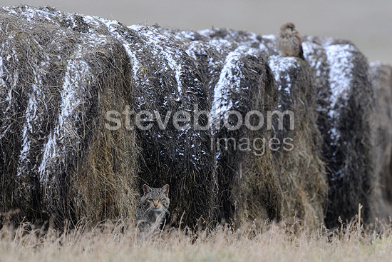 Wildcat in hay bales with a Falcon in winter France (Wildcat)