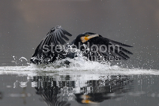 Great Cormorant landing on water Val d'Allier NR France (Great Cormorant)