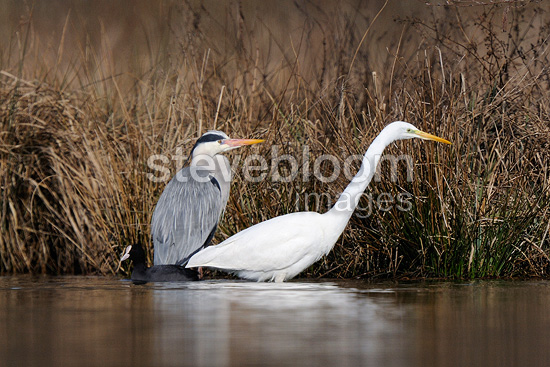 Great Egret Grey herons and Common Coot  (Great Egret; Grey heron; Common Coot)