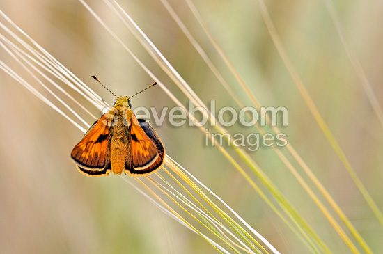 Large Skipper on the barbs of an ear of wheat France