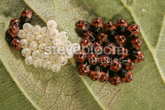 Hatching of Shield Bug on a leave Centre France