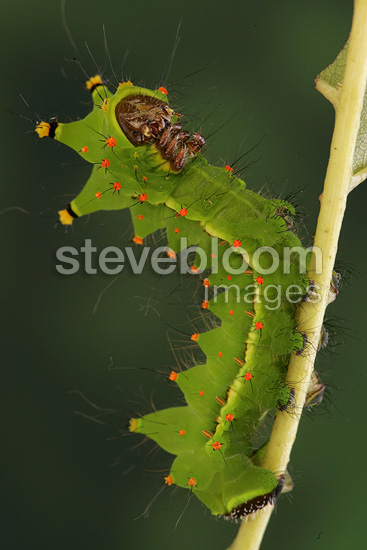 Caterpillar of Indian Moon Moth on walnut leaves