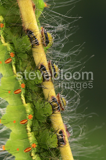 Feet of Caterpillar of Indian Moon Moth on walnut leaves
