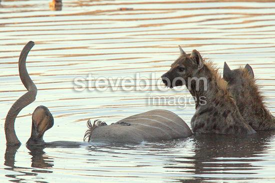 Spotted Hyaena eating the remains of a kudu death Etosha NP (Speckled Hyena)