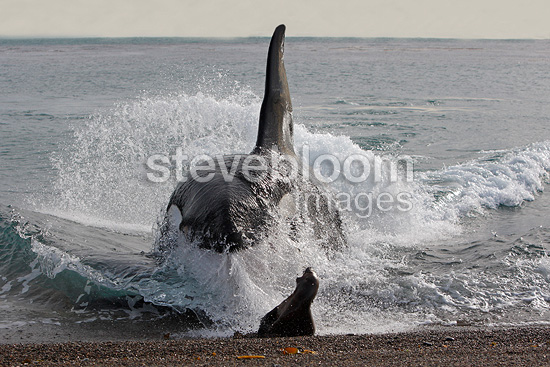Killer Whale(Orca) attacking Sea Lions on the seashore by deliberately beaching itself, La Ernestina, Patagonia.
