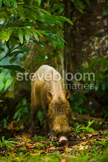 Bearded Pig Danum Valley Borneo Malaysia (Bearded pig)