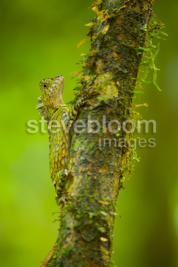 Tropical forest Dragon Danum Valley Borneo Malaysia (Tropical forest Dragon)