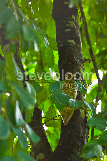 Malayan Flaying Lemur Danum Valley Borneo Malaysia  (Malayan Flying Lemur)