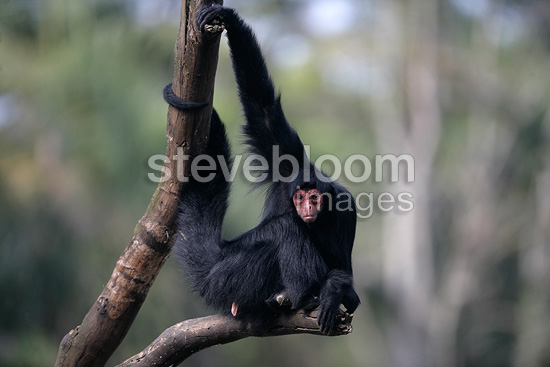 Red-faced Black Spider Monkey in Brazil