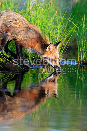 Red Fox drinking on bank Minnesota USA (Red fox)
