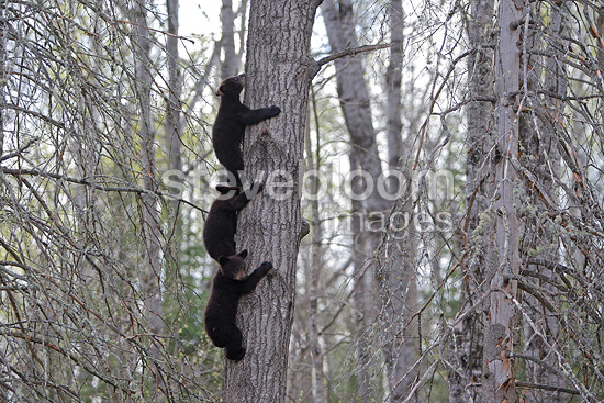 black bears 4 months old cubs climbing a tree to be secure black bear