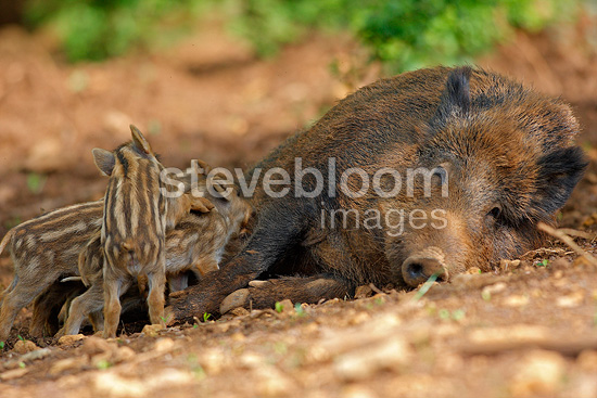 Wild Boar female nursing her youngs Franche-Comté France (Wild boar)