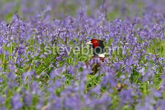 Male Ring-necked Pheasant amongst bluebells GB (Ring-necked Pheasant )