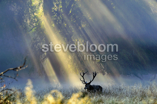 Male red deer and rays of sun, Dyrehaven, Denmark�