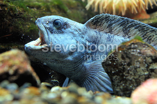 Portrait of Atlantic wolffish (Sea-cat  (Atlantic wolffish))