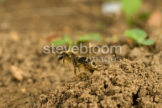 Solitary Bee on ground France
