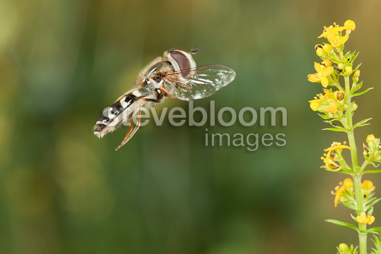 Hoverfly in flight Burgundy France