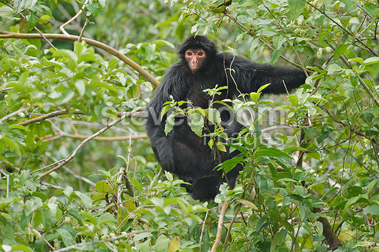 Wolly spider monkey in the branches of a tree South america