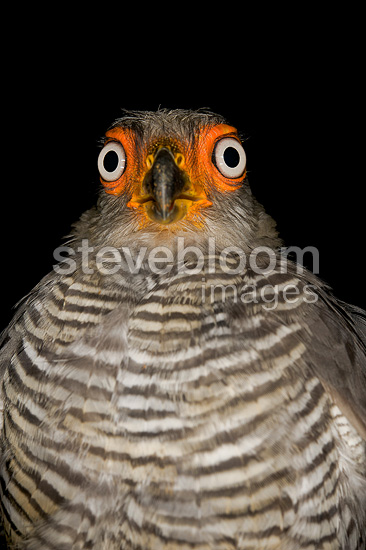 Portrait of a Lined Forest-falcon South America (Lined Forest-falcon)