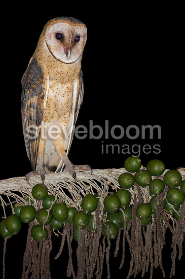Barn Owl on a branch (Barn Owl)