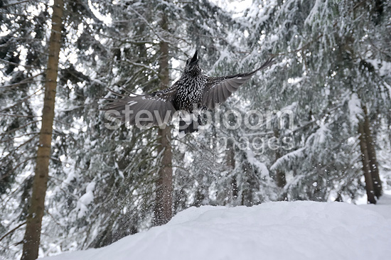 Spotted Nutcracker flying away Valais Switzerland (Spotted Nutcracker)