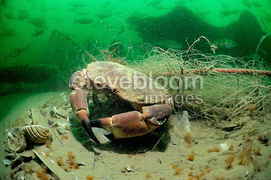 Crab trapped in a net Oléron Atlantic Ocean France (crab)