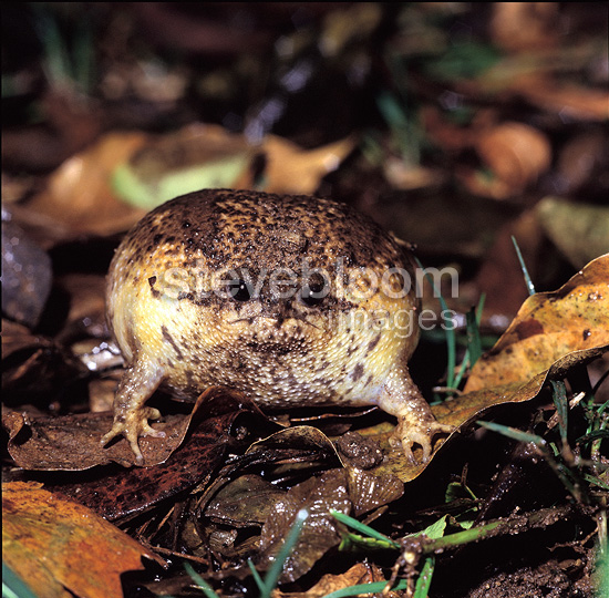 Cape rain frog in defensive posture Table Mountain