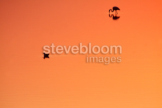 American Flamingo and Black-headed Gull at dawn in swamp (Greater Flamingo)