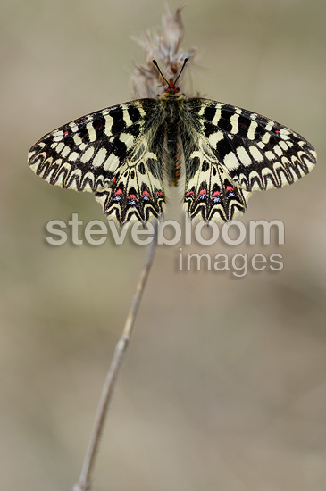 Southern Festoon on a stem at spring Ardèche France