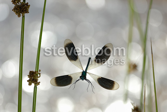 Banded Demoiselle in flight in backlighting France
