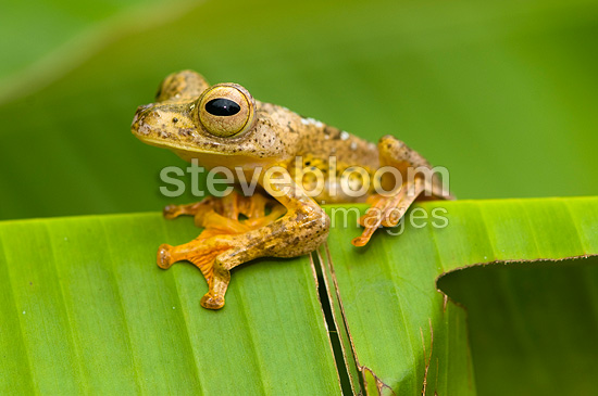 Borneo Red Flying Frog in primary forest Sabah Borneo