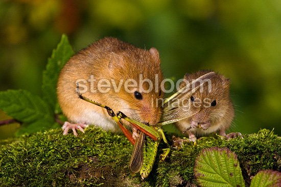 Harvest Mouse pregnant female ...