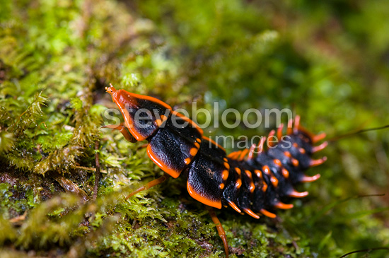 Trilobite beetle in cloud forest Mount Kinabalu NP Borneo