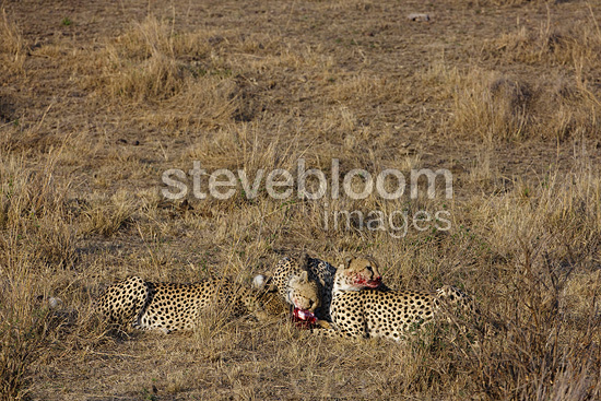 Three young brothers Cheetahs eating with a young Impala (Cheetah)