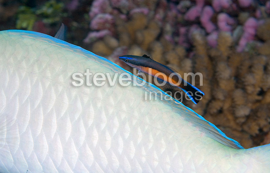 Cleaner wrasse on the back of a Parrotfish French Polynesia (Parrotfish)