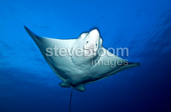 Spotted Eagle Ray bottom view Tuamotu French Polynesia (Spotted eagle ray)