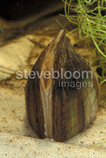 Freshwater pearly mussel on the bed of a river Belgium