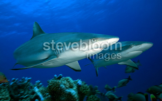 Grey Reef Sharks swim above the reef Tuamotu Polynesia  (Grey reef shark)