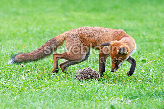 Red fox trying to catch a hedgehog Great Britain (Red fox)